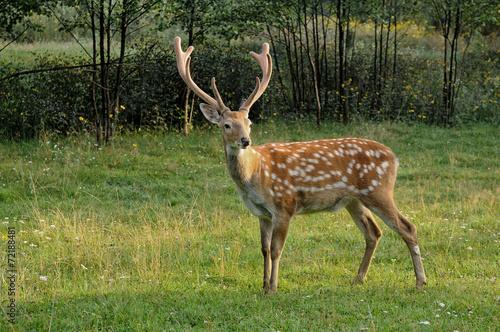 Fotobehang Ree Spotted deer.