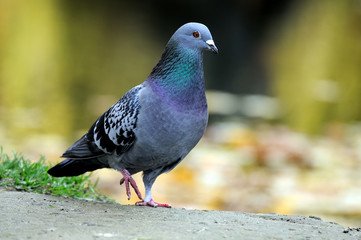 Portrait of a pigeon.