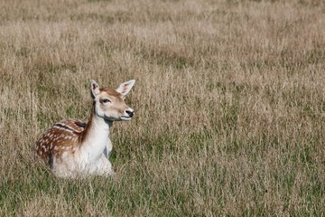 Fallow deer in nature