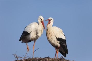 White Storks on their nest