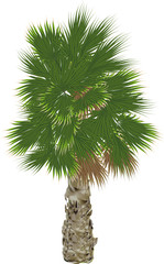 large single green palm tree on white