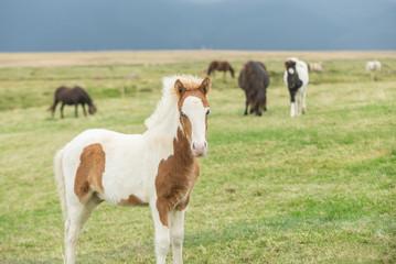 Portrait of Wild Icelandic foal