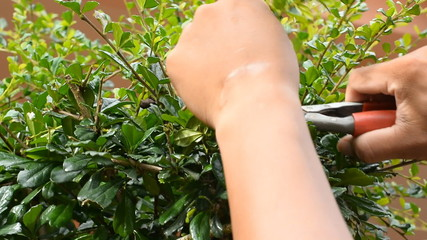 Pruning of trees with garden scissors