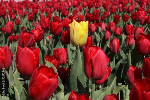 Plexiglas Amsterdam Yellow tulip standing out