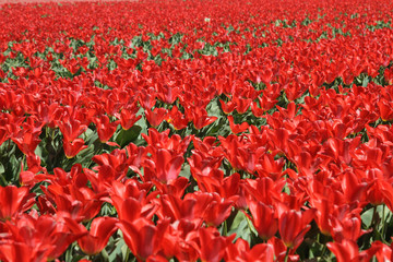 Bright red tulips at Keukenhof in The Netherlands