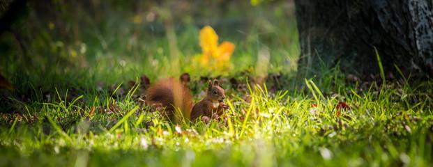 Wunderschönes wildes Eichkätzchen auf der Herbstwiese