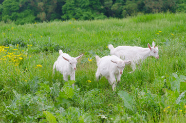 Three little goats while eating the grass