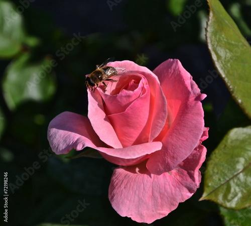 canvas print picture rosa