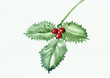 Green holly branch with berries