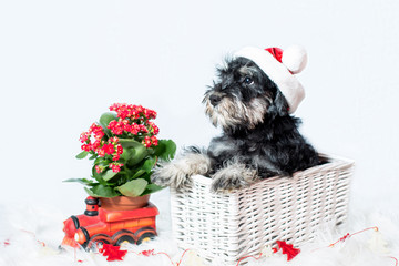 portrait of miniature schnauzer in santa helper costume