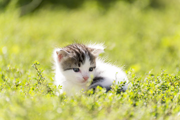 The colorful kitten goes in  green grass