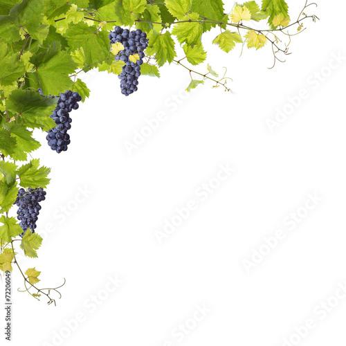 Fototapeta Vine leaves isolated on white