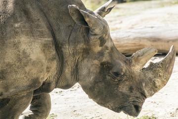 Portrait of rhino
