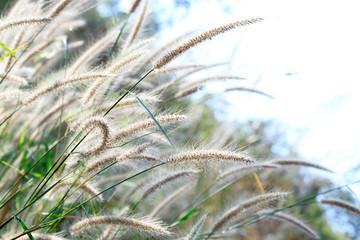 Natural flower of grass