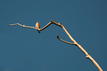 Goldfinch (Carduelis carduelis) on a twig