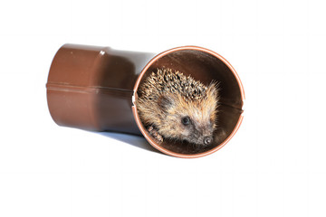 Small forest hedgehog, gets out of the drainpipe