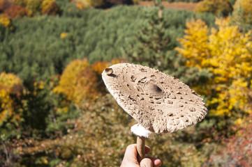 Parasol mushroom Macrolepiota procera on autumn background
