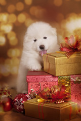 Samoyed puppy dog with Christmas gifts