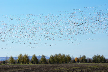 Large group of flying snow geese