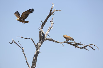 Eagles perched on a dead tree