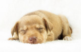 lovely puppy mutts sleeping on a white bedspread poster