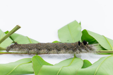 Caterpillar of brown lappet moth