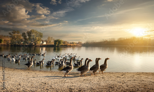 Fototapety, obrazy : Flock of geese