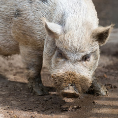 nose of dirty grey african swine standing on earth ground