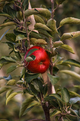 Knallroter Apfel