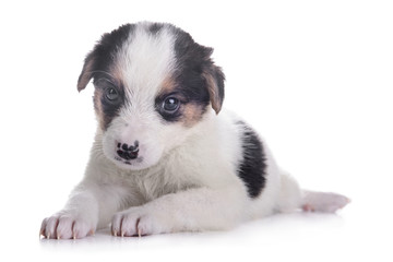 little puppy crossbreed