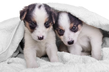 puppies mestizo in blanket