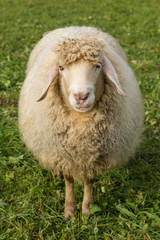 Schaf auf einer grünen Wiese