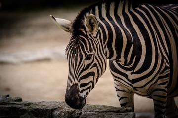 Wunderschönes wildes afrikanisches Steppenzebra