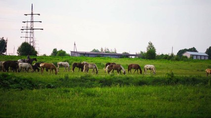 herd of horses is grazed on a summer meadow early in the mornin