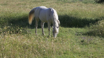 gray horse grazed on a green meadow