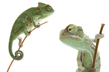 Beautiful baby chameleon as exotic pet is isolated on white