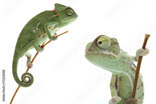 Foto op Aluminium Kameleon Beautiful baby chameleon as exotic pet is isolated on white
