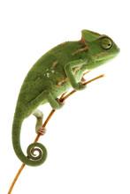 Piękne dziecko kameleon jako egzotycznych pet, wąskie fokus na oczy