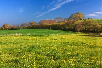 Frühlingswiese mit Löwenzahn an der Schlei in Schleswig-Holstein