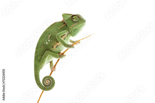 Foto op Aluminium Kameleon Beautiful baby chameleon as exotic pet, narrow focus on eyes