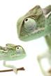 Green chameleon on white background