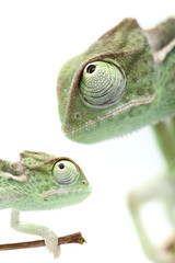 Green chameleon on white background