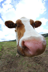 grazing cow photographed with a fisheye lens on the mountain