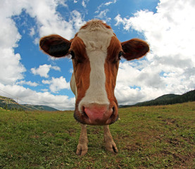 cow photographed with a fisheye lens
