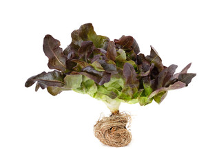 red oak leaf lettuce on a white background