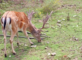 Majestic deer with large horns in the mountain