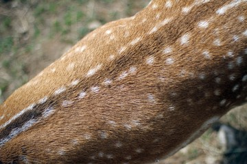 spotted fur of deer in the wild