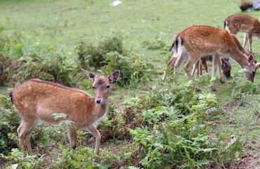 Roe deer grazing in the mountains