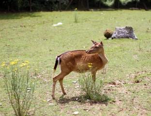 young deer  grazing in alpine meadow in summer