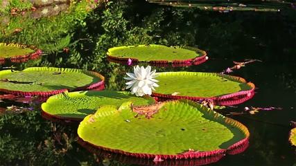 Lotus flowers in tropical pond